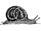 Black and White Snail Clipart